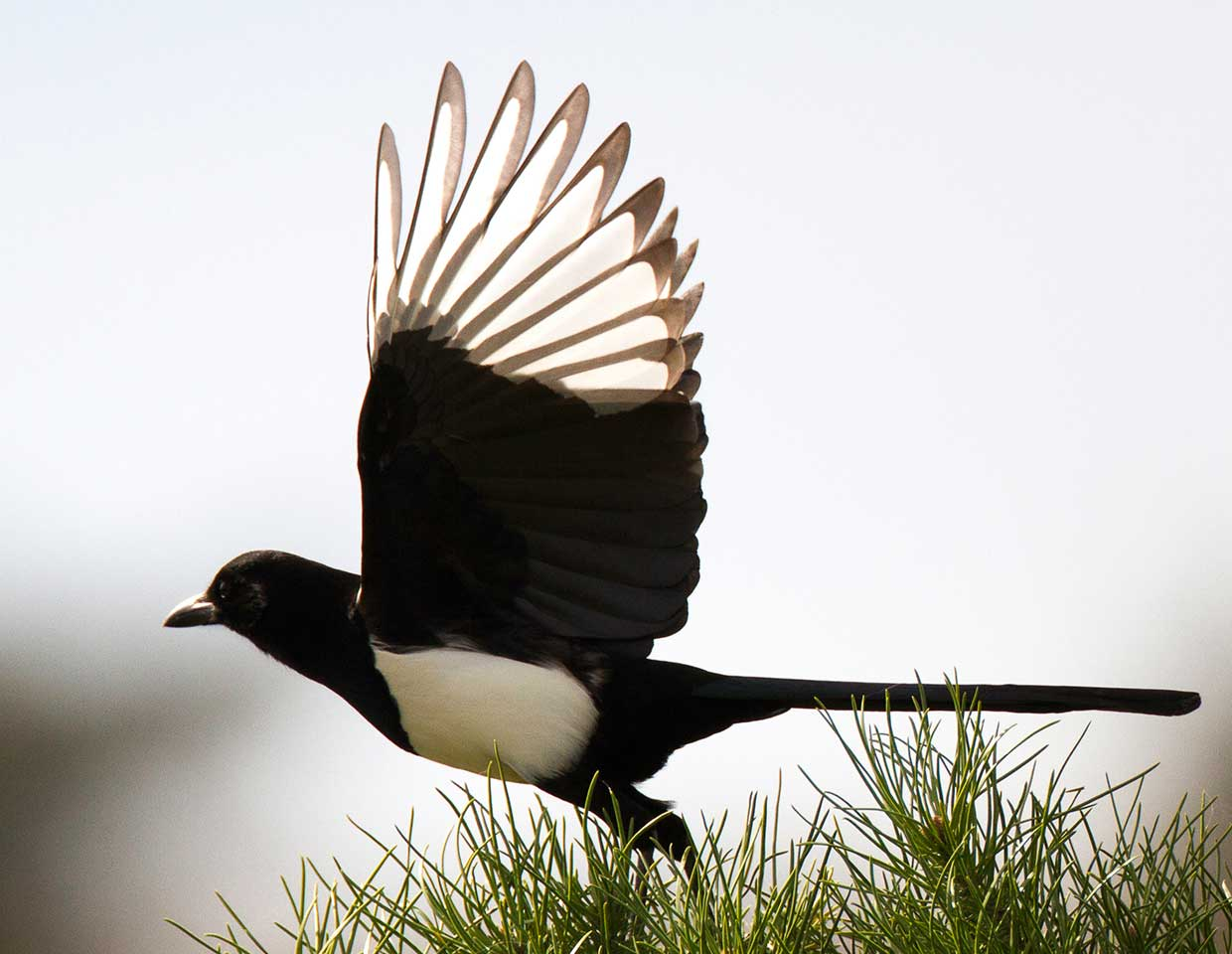 black and white bird taking off from pints tree