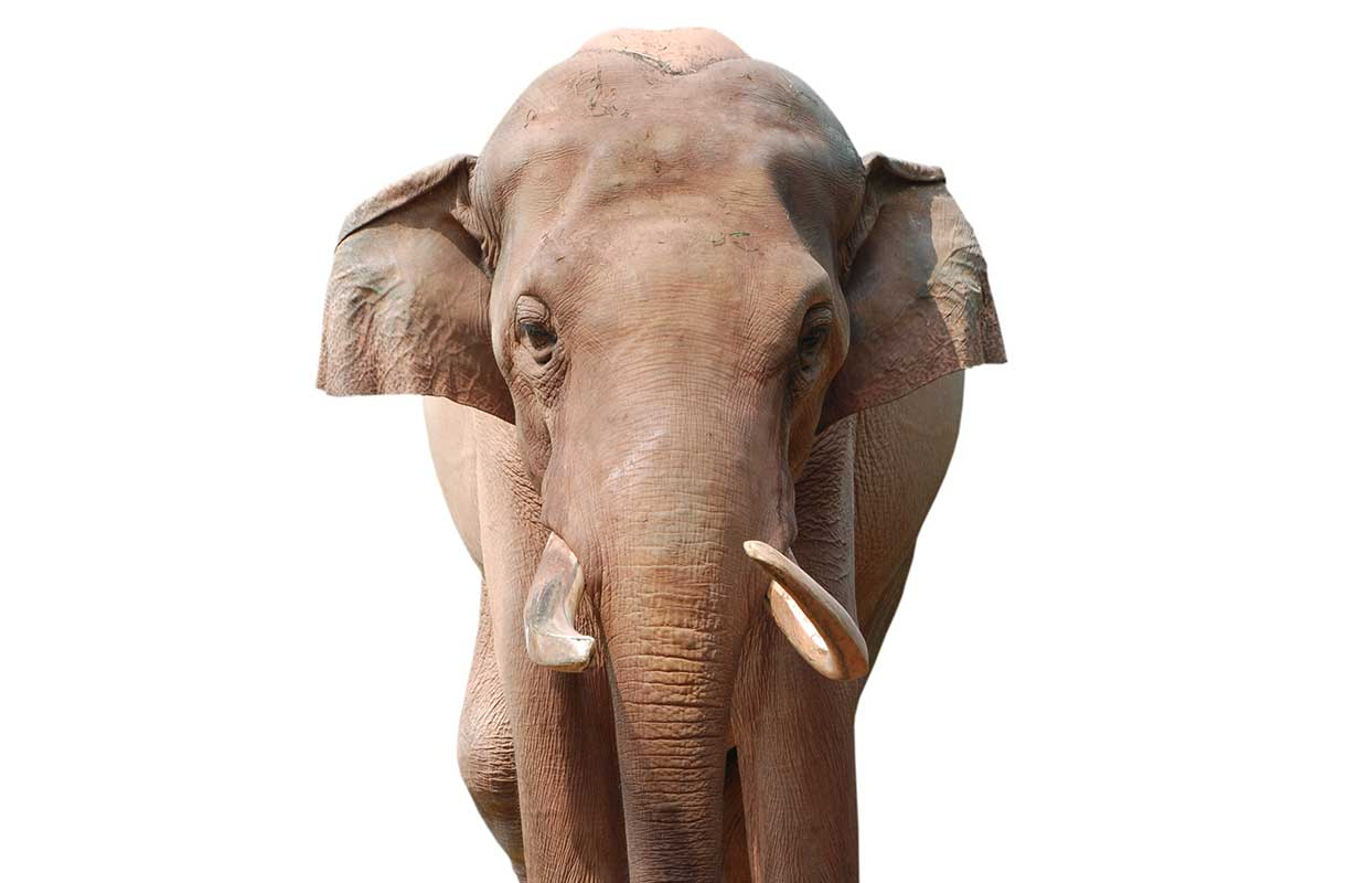 Large India elephant moving and looking straight at you