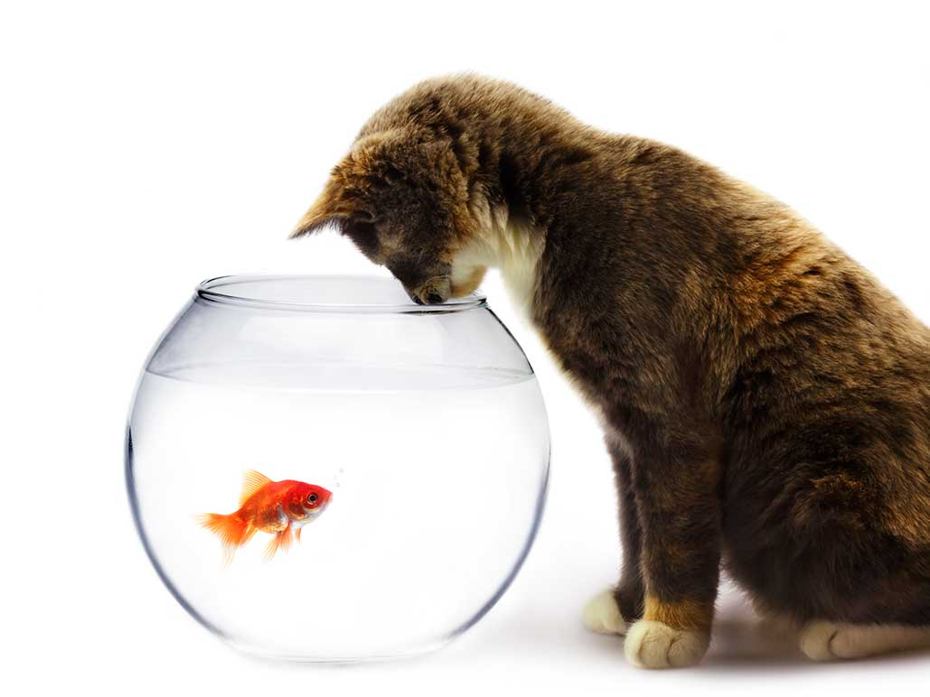 Cat focused intently into fishbowl at goldfish