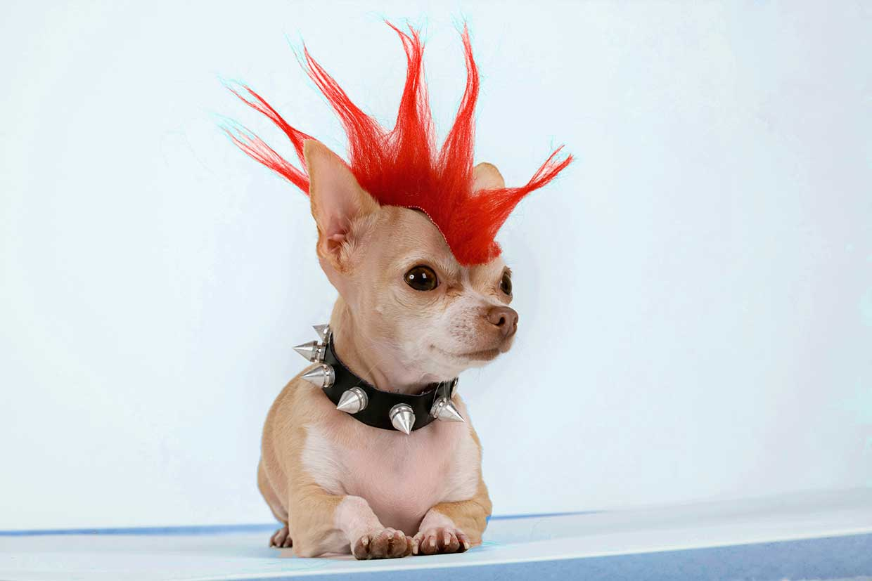 Tiny chihuahua with fake red mohawk hair and spiked leather collar lying on a table