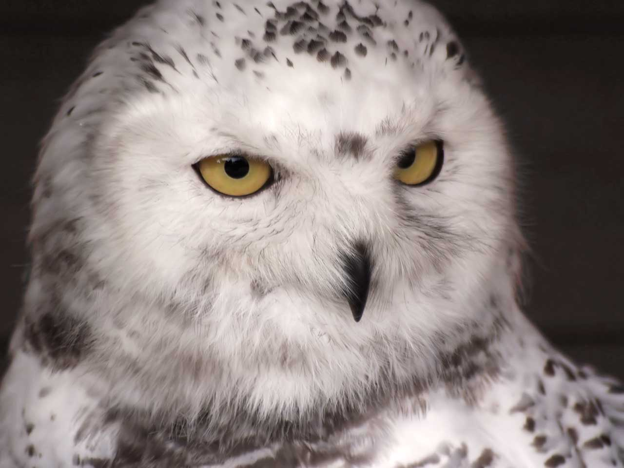 a white owl reminds us to make SMART goals to succeed